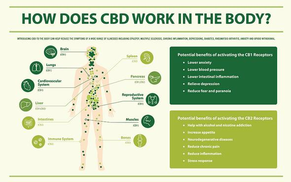 CBD oil specialist in UK. Cannabidiol oil supplement. How CBD works in the body. KaiQi.
